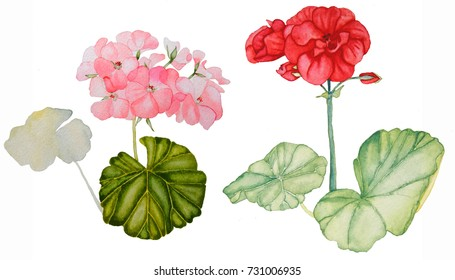 Set of two geraniums, watercolor