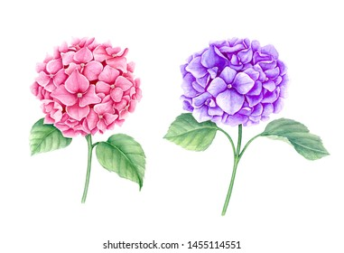 Set of two Hydrangea flowers (pink and violet) isolated on a white background suitable for spring card or other floral designs
