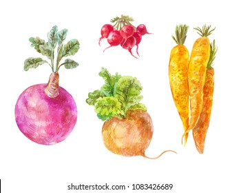 Set of underground vegetables isolated on white. Watercolor turnip, rutabaga, radish and carrot.