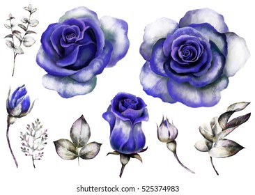 Set vintage watercolor elements of blue rose, collection garden flowers, leaves, illustration isolated on white background, eucalyptus, herbs. bud and leaf