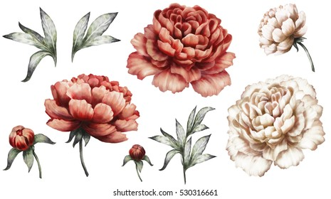 Set vintage watercolor elements of red and white peonies, collection garden flowers, leaves, illustration isolated on white background. bud and leaf, peony