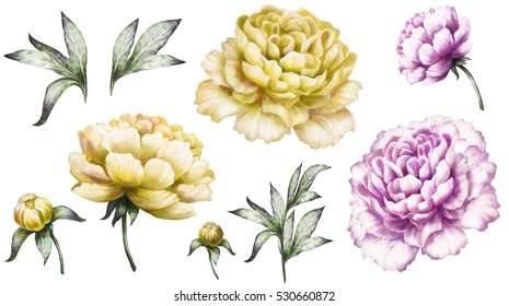 Set vintage watercolor elements of yellow and purple peonies, collection garden flowers, leaves, illustration isolated on white background. bud and leaf, peony