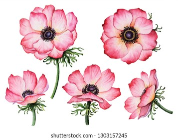 Set of watercolor anemones, hand painted illustration of flowers, floral elements isolated on a white background.