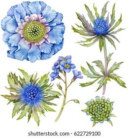 Set of watercolor blue flowers. Blue scabiosa, forget-me-not, thistle blue.