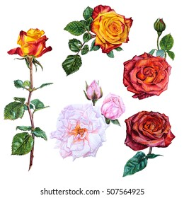 set of watercolor botanical illustration flowers roses of different colors: yellow, red, chocolate, pink