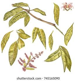 Set of Watercolor botanical illustration. Mango Fruit and flowers isolated on white background