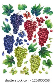 Set of watercolor bunches of white, blue and red grapes, green leaves and branches. Hand painted botanical design elements isolated on white background