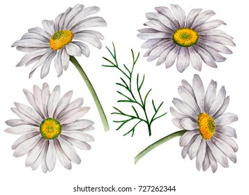 Set of watercolor chamomiles, hand drawn floral illustration, white flowers isolated on a white background.