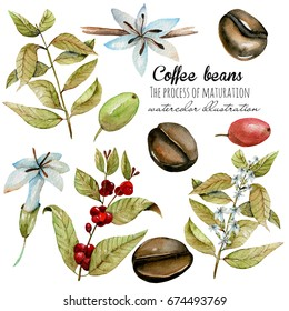 Set of watercolor coffee branches, flowers and beans at different stages of maturation, hand painted isolated on a white background