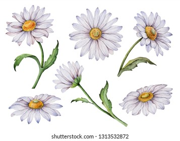 Set of watercolor daisy, hand painted floral illustration, white flowers isolated on a white background.