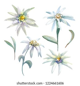 Set of watercolor edelweiss. Each element is isolated on a white background.