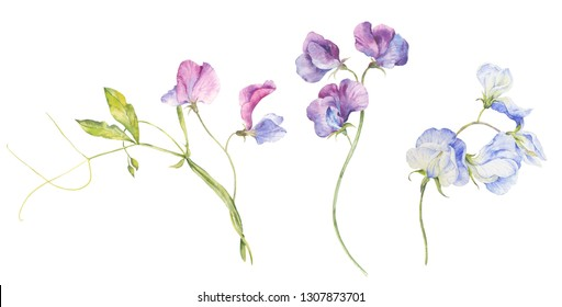 Set of watercolor flowers of fragrant peas on a white background.