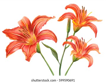 Set of watercolor flowers, hand drawn illustration of orange lilies, floral elements isolated on white background.