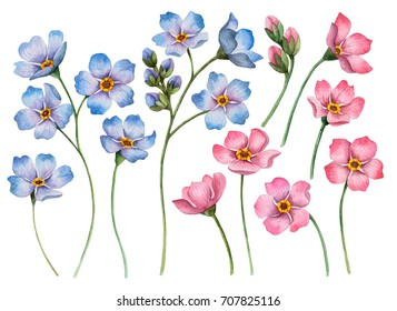 Set of watercolor flowers, hand drawn illustration of blue and pink forget-me-nots, floral  elements for greeting and invitation cards isolated on a white background.
