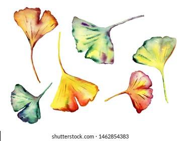 Set of Watercolor Ginkgo Biloba leaves.
