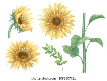 Set with watercolor hand drawn illustrations of sunflowers