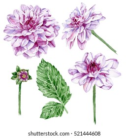 Set of watercolor hand painted elements: purple dahlias and leaves isolated on white background. Garden flowers. Botanical illustration