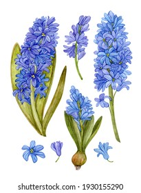 Set of watercolor hyacinths isolated on white background. Spring flowers, blue hyacinths, botanical illustration.