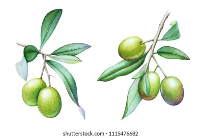 Set of watercolor illustrations of the olive tree branches with olives and green leaves isolated on white background.
