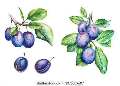 Set of watercolor illustrations of the plum tree branch with leaves and fruits on white background.