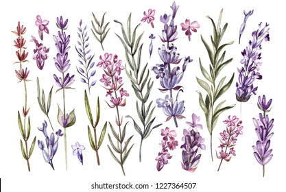 Set of watercolor lavender flowers on white background. Illustration