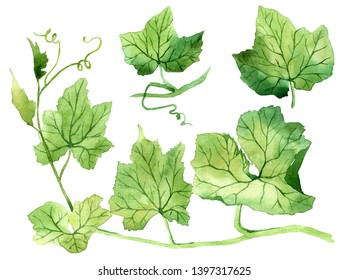 Set of watercolor leaves. Hand drawn isolated on a white background, for use in a logo, sign, symbol. Pumpkin Leaves. Grape leaves