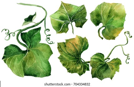 Set of watercolor leaves. Hand drawn isolated on a white background, for use in a logo, sign, symbol. Pumpkin Leaves