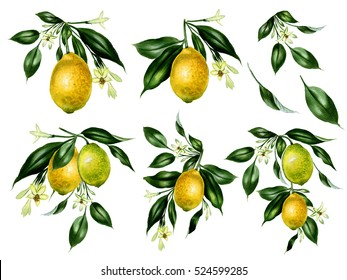 Set of watercolor lemon tree branches. Hand drawn illustration isolated on white. Botanical illustation.