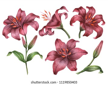 Set of watercolor lilies, hand painted floral illustration, maroon flowers isolated on a white background.