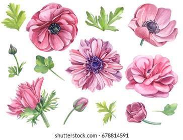 Set of watercolor, pink flowers of anemones, Ranunculus, botanical illustration.