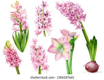 set of watercolor pink hyacinths, lily, amarilis on an isolated white background, botanical painting