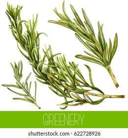 Set of watercolor rosemary branches. Watercolor greenery.