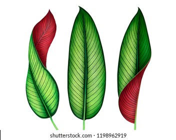 Set of watercolor tropical leaves isolated on white background. Botanical hand drawn illustration of Calathea Ornata plant.