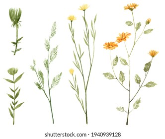 Set with watercolor wild flowers isolated on white background. Hand painted botany. Daffodil, dandelion, plant buds