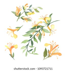 Set of watercolor yellow honeysuckle flower isolate on white background. Flowers for wedding cards.