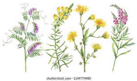 Set with wild plant (fireweed, toadflax, thistle, vicia cracca). Watercolor hand drawn painting illustration isolated on a white background.