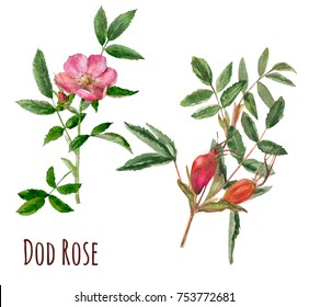 Set of wild rose (briar, dog rose): pink flowers, green leaves, red fruit, hand draw watercolor painting, realistic botanical illustration on white background