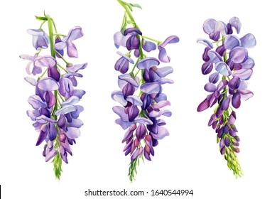 set of wisteria flowers on an isolated white background, watercolor illustration, botanical painting, spring clipart