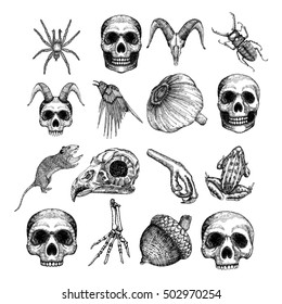 Set of witchcraft attributes. Hand drawing of witch objects for Halloween. Spider, human, goat skull with horns, beetle, crow, demon, vampire, garlic, rat, frog, skeleton hand, bird leg and head.