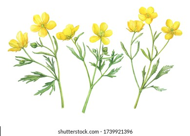 Set of the yellow flower meadow buttercup (known as Ranunculus acris, sitfast, spearworts or water crowfoots). Watercolor hand drawn painting illustration isolated on white background
