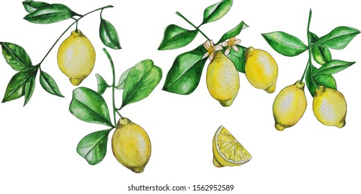 set of yellow lemons on a branch with leaves on a white background