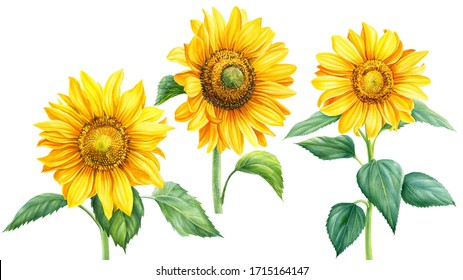 set of yellow sunflowers, flowers, branches, leaves on an isolated background, botanical illustration, watercolor floral design