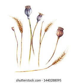 Set of yellows wheats ears and poppy. Watercolor botanical illustration