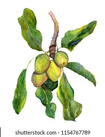 Shea nuts, a branch with shi fruits and leaves. Botanical watercolor illustration. Ingredient of cosmetology care, healthy nutrition, skin care products, hair. Suitable for label, label, package desig