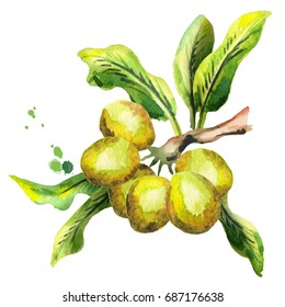 Shea plunt with nuts and green leaves. Watercolor hand-drawn illustration
