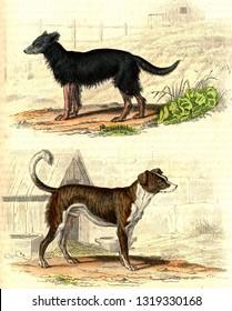 The Shepherd Dog, Watchdog, vintage engraved illustration. From Buffon Complete Work.