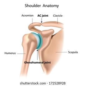 Shoulder anatomy labeled