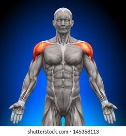 Shoulders, Deltoid - Anatomy Muscles