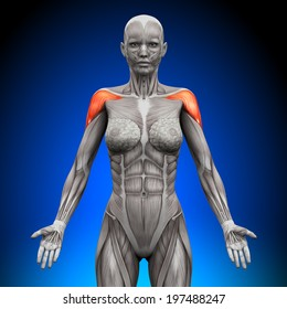 Shoulders, Deltoid - Female Anatomy Muscles