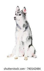 Siberian Husky Dog illustration in watercolor
